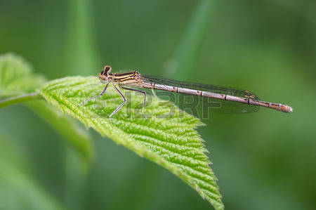 Green Damselfly Stock Photos, Pictures, Royalty Free Green.