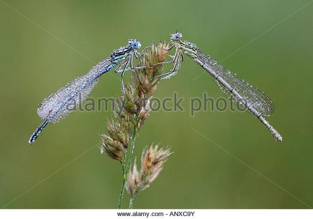 2 Dragonflies Stock Photos & 2 Dragonflies Stock Images.