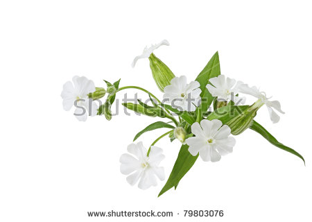 """white Campion"" Stock Photos, Royalty."