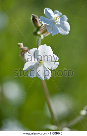 Silene Pratensis Stock Photos & Silene Pratensis Stock Images.