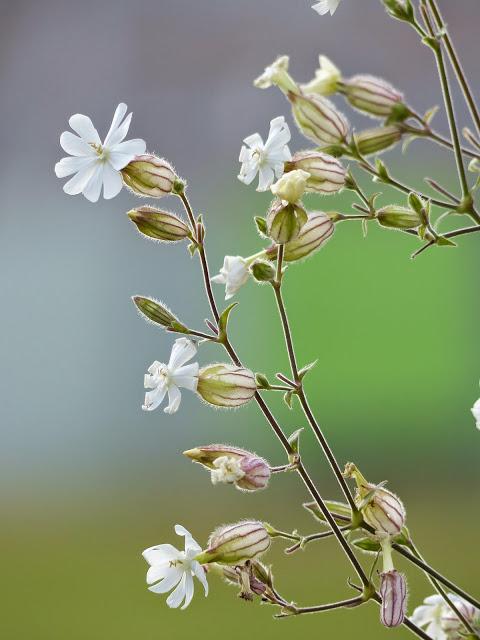 Silene latifolia subsp. alba.