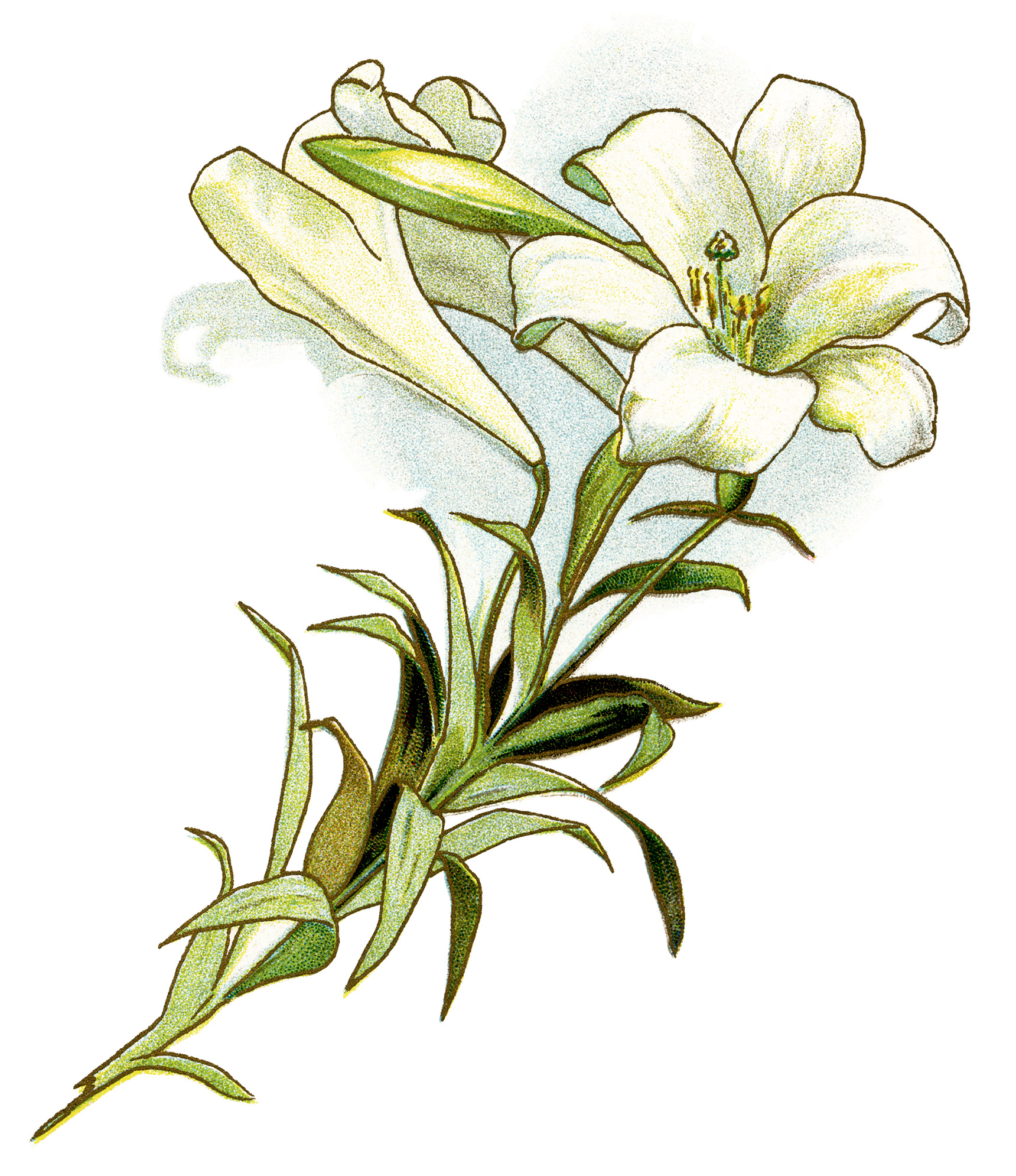 White lilies clipart.