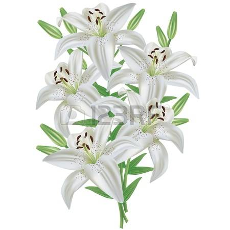 7,723 White Lilies Stock Vector Illustration And Royalty Free.