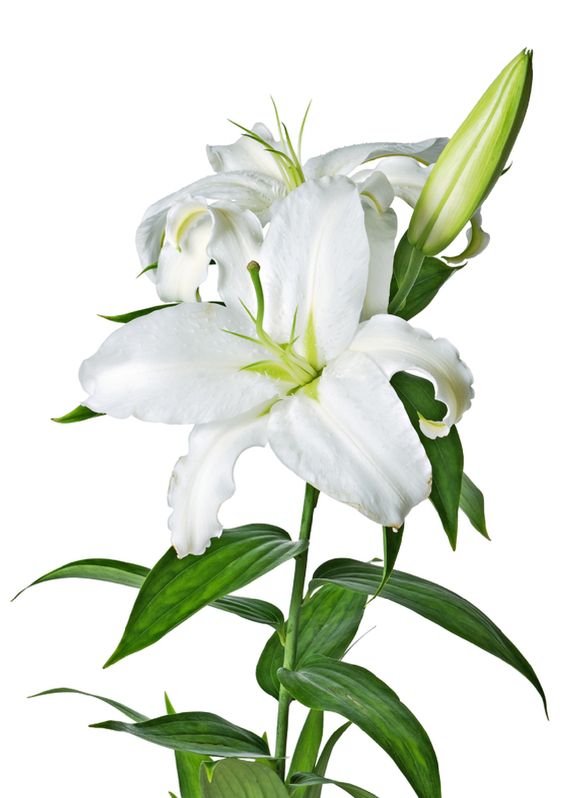 Lilys Site: White Lilies.