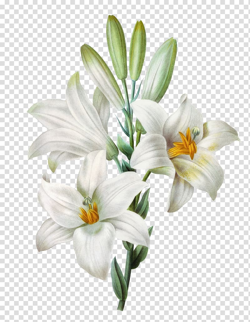 Easter lily Lilium candidum Tiger lily Watercolor painting.
