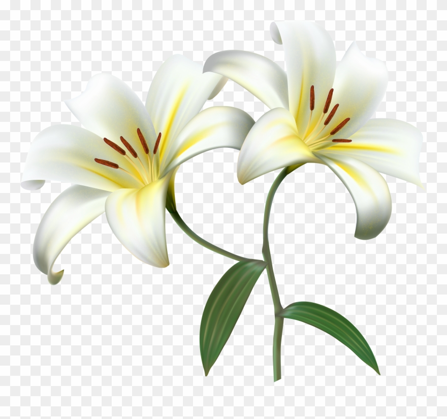 White Lilium Flower Decorative Transparent Image.