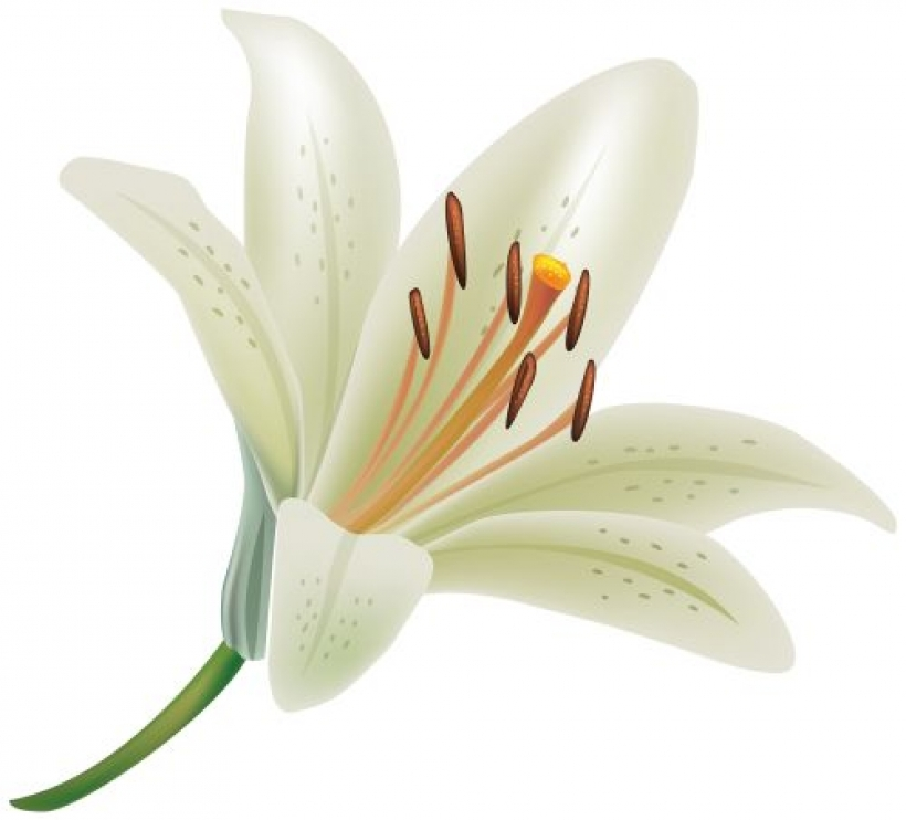 white lily flower png clipart floral pinterest white lily.