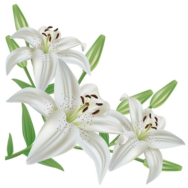 White lily flower clipart.