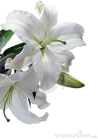 White lily clipart.