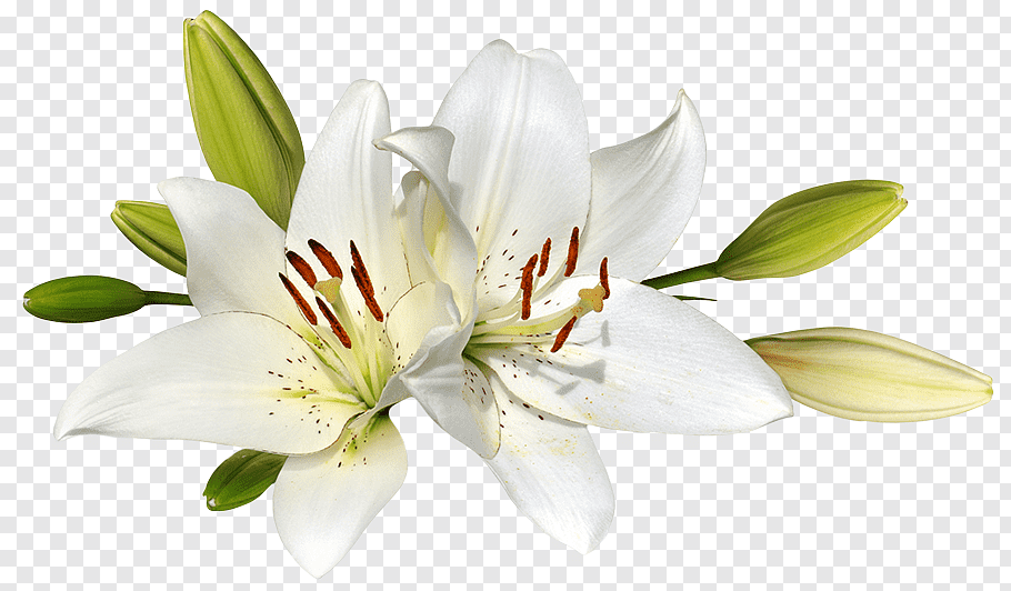 White lily flowers, Easter lily Flower graphy, lilies free.
