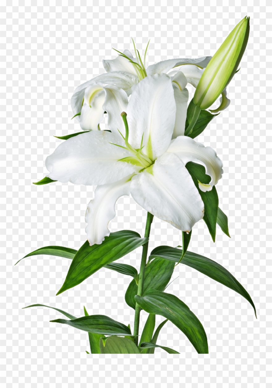 Easter Lily Garland Png Picture Free.