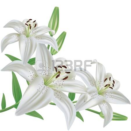 8,739 White Lily Stock Illustrations, Cliparts And Royalty Free.