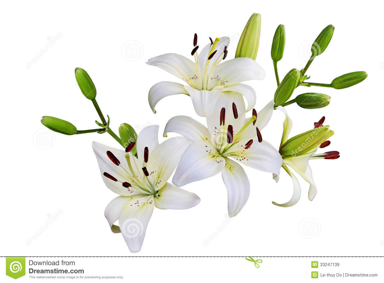 White Lily Royalty Free Stock Images.