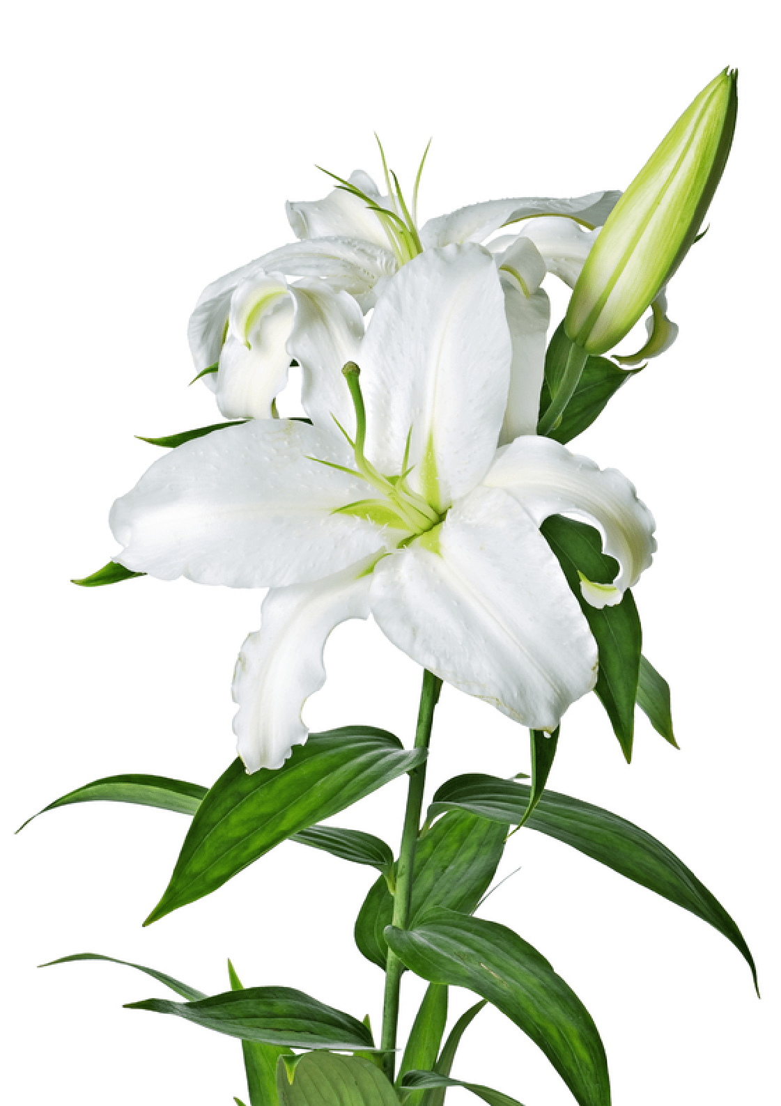 White Lily Flower transparent PNG.