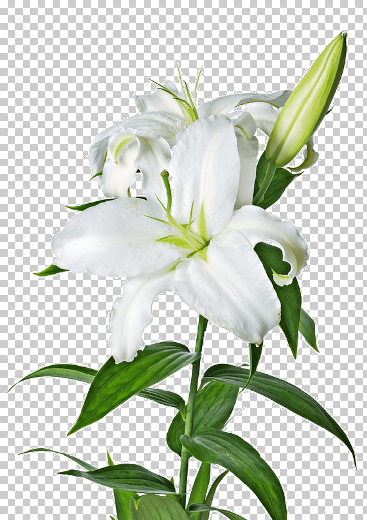 White Lily, white lily flower illustration PNG clipart.