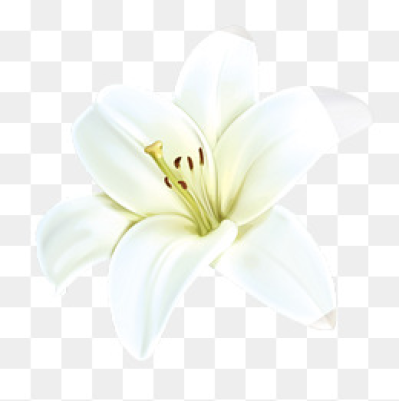 White Lily PNG Images.