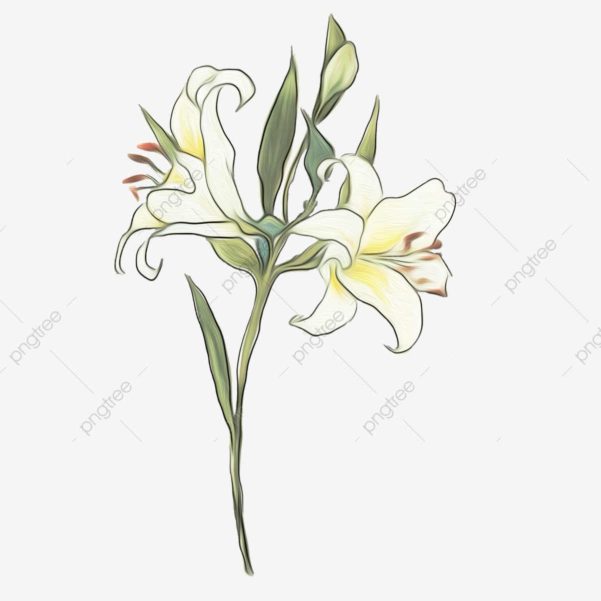 Lily White Lily Hand Drawn Delicate Lily Lily Flower Illustration.
