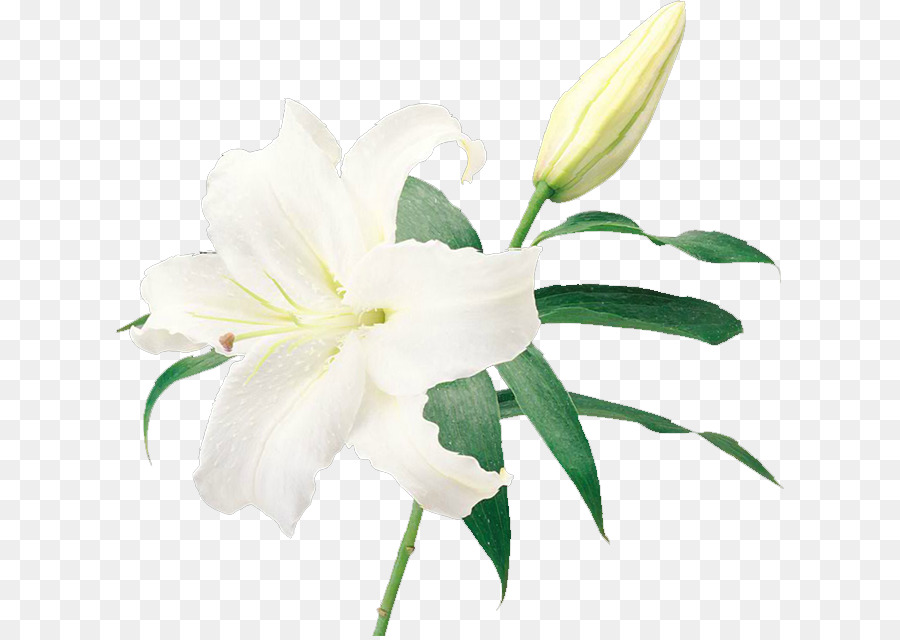 White Lily Png (101+ images in Collection) Page 1.