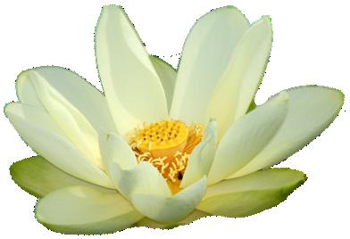 White Lotus Png.