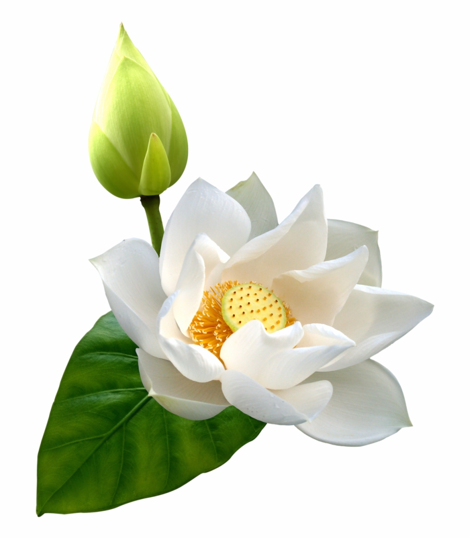 Lotus Png Hd White Lotus Flower Png.