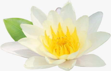 White lotus flowers calligraphy PNG clipart.