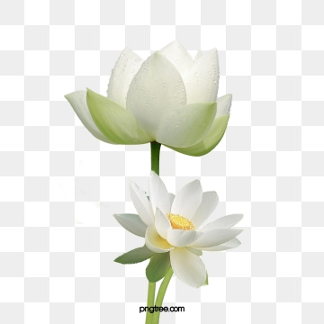 White Lotus Png, Vector, PSD, and Clipart With Transparent.