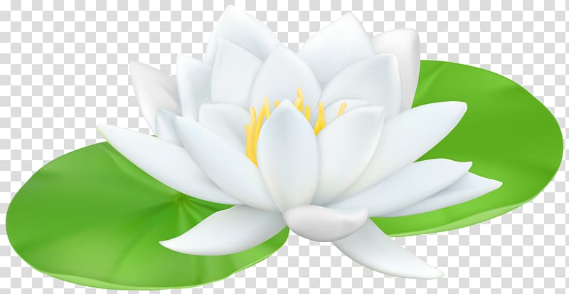 White lotus flower graphic illustration, Water lilies Sacred Lotus.