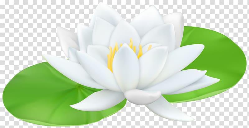 White lotus flower graphic illustration, Water lilies Sacred Lotus.