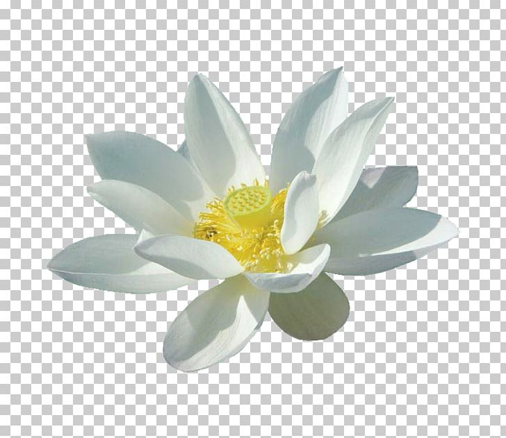 Nelumbo Nucifera White Flower PNG, Clipart, Aquatic Plant, Black.