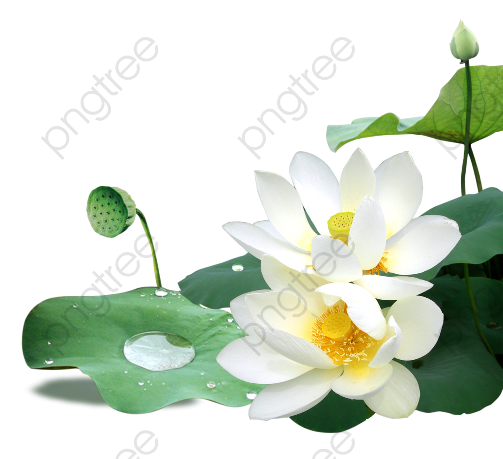 White Lotus Flowers, Lotus Clipart, White, Flowers PNG Transparent.
