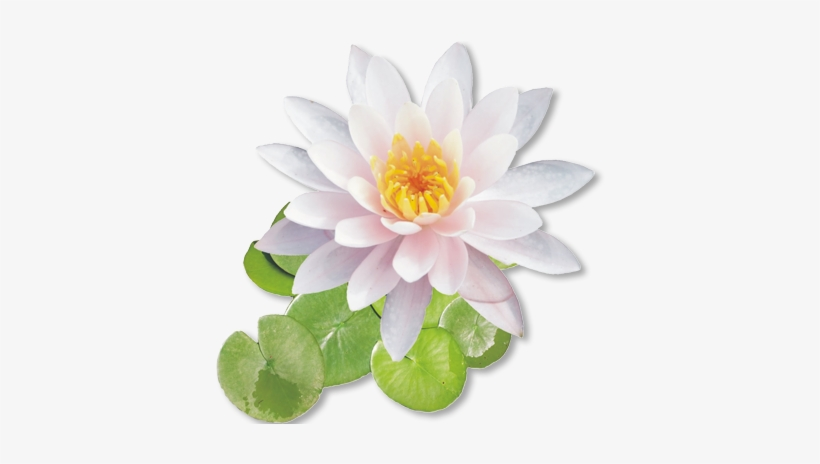 White Lotus Flower Png PNG Image.