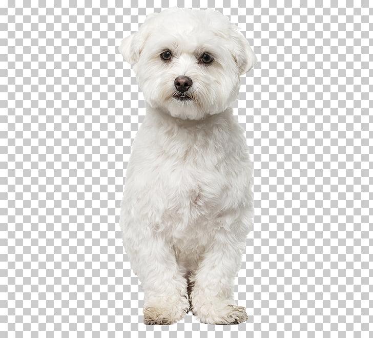 Maltese dog Bichon Frise Havanese dog Bolognese dog Bolonka.