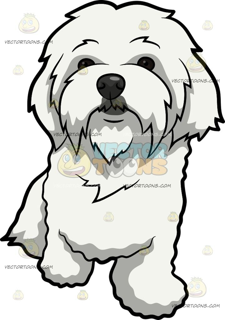 A Curiously Cute Maltese Dog : A dog with long white coat.