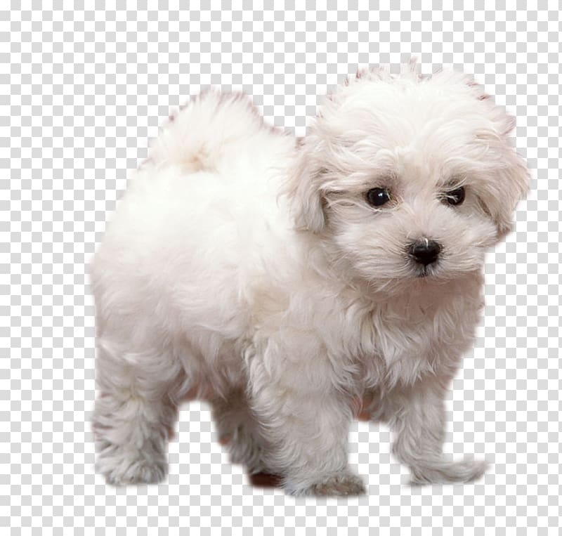 Puppy Animal Terrier Breed, White dog standing transparent.