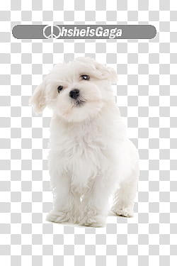 Files, white Maltese puppy transparent background PNG.