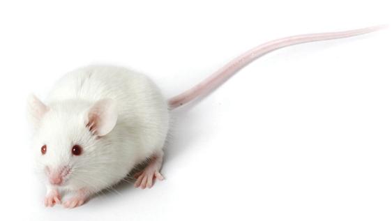 White Mouse.