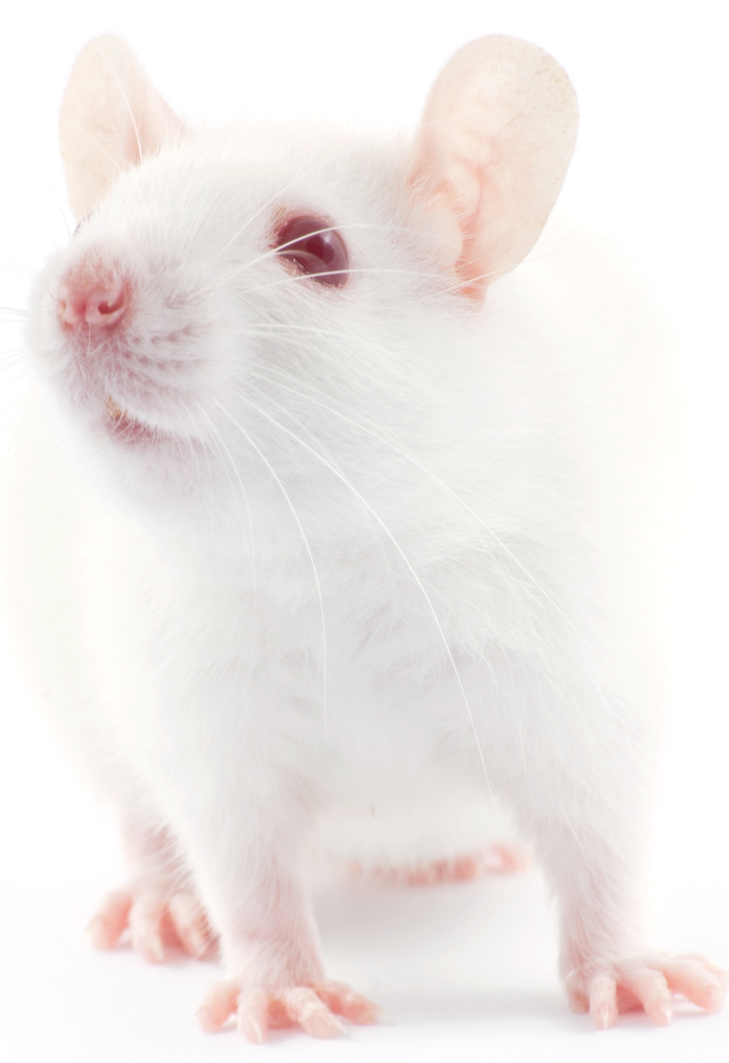Free Photo: White Mouse.