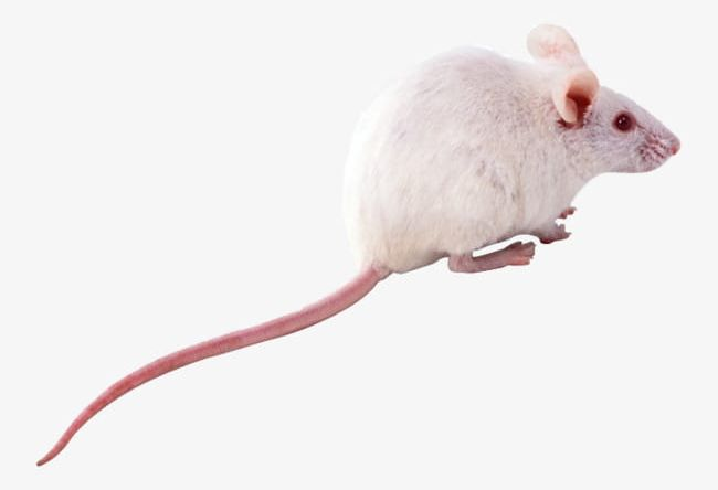 White Mice PNG, Clipart, Animal, Animals, Mice, Mice Clipart, Mice.