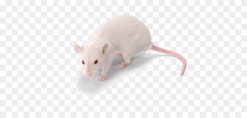 Rat Png Background Image.