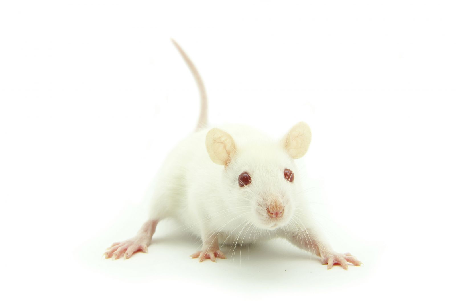 White Mouse Png Are mice good as pets? rodent information.