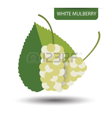 4,875 White Mulberry Stock Vector Illustration And Royalty Free.