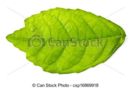 Clipart of Mulberry leaf isolated on a white.