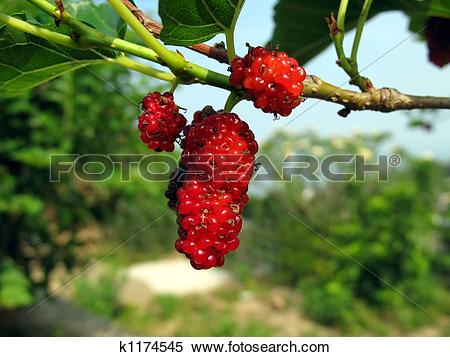 Stock Image of White Mulberry Tree k1174545.