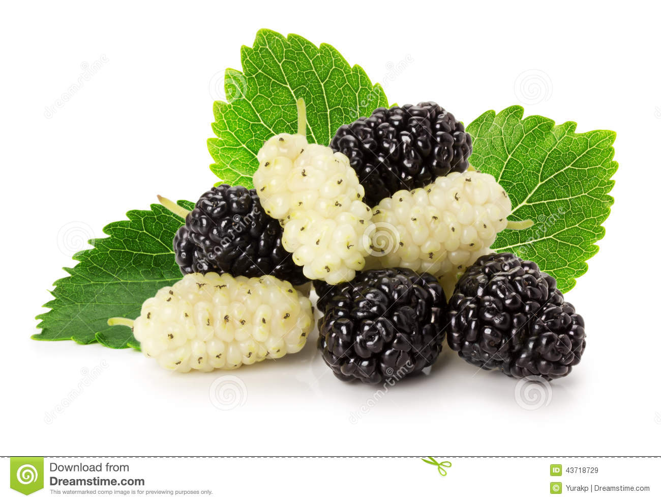 White Mulberry Stock Image.