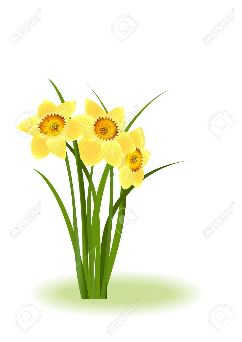 Spring Flowers. Yellow Narcissus On White Background With Space.