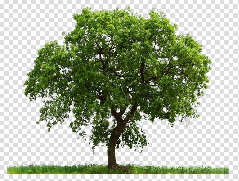 Tree English oak Adobe shop White oak, tree transparent.