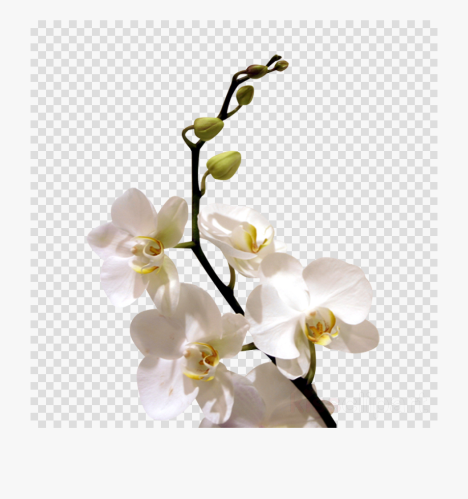 White Orchid Flower Png Clipart Orchids Flower Clip.