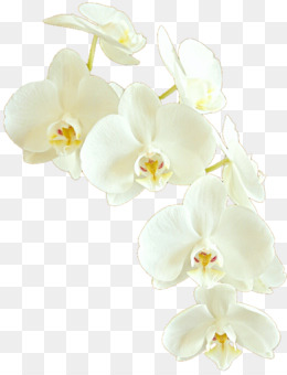 White Orchid PNG.