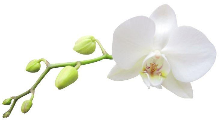 White Orchid Clipart (66+).