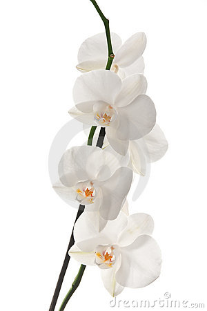 White Orchid Royalty Free Stock Photos.